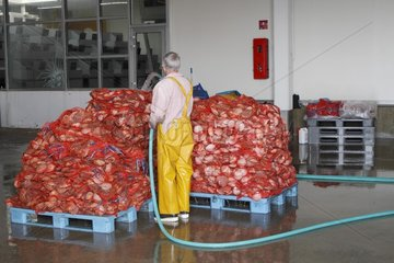 Great Scallops (Pecten maximus) ready to be shipped  Auction of Saint Quay Portrieux  Brittany  France