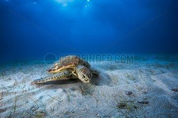 Green turtle (Chelonia mydas) eating on the bottom  Indian Ocean  N'Gouja Bay  Mayotte