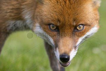 Red fox (Vulpes vulpes) Fox looking at the camera. England  Spring