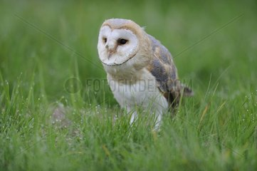 Barn Owl (Tyto alba) on grass  Lorraine  France
