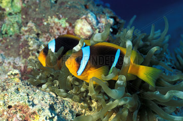 Twoband anemonefish (Amphiprion bicinctus) couple in anemone  Red Sea  Safaga  Egypt