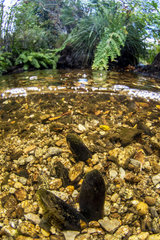 Freshwater pearl mussels (Margaritifera margaritifera)  river Arn  Haut-Languedoc Regional Nature Park  France