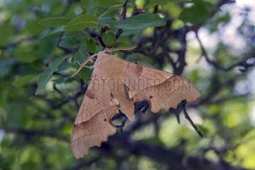Oak Hawk-moth (Marumba quercus)  On a shrub in early summer in the forest surroundings Barjols  Provence-Alpes-Côte d'Azur  France