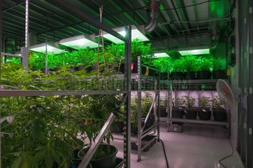 Cannabis plants carefully grown for marijuana dispensary. Pueblo  CO