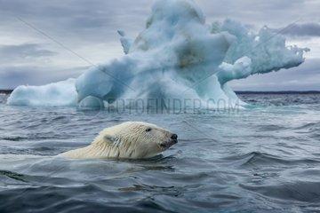 Polar Bear (Ursus maritimus) swimming past melting iceberg near Harbour Islands  Repulse Bay  Nunavut Territory  Canada
