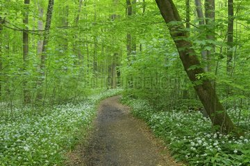 Path Through European Beech Forest (Fagus sylvatica) with Ramson (Allium ursinum)  Hainich National Park  Thuringia  Germany  Europe