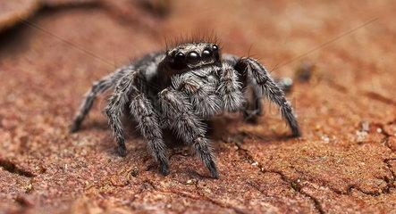 Jumping spider on bark - NSW Australia