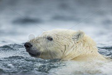 Polar Bear (Ursus maritimus) swimming near Harbour Islands  Repulse Bay  Nunavut Territory  Canada