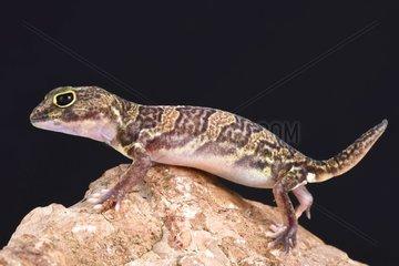 African clawed gecko (Holodactylus africanus)  Ethiopia