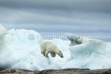 Polar Bear (Ursus maritimus) running amid melting sea ice near Harbour Islands  Repulse Bay  Nunavut Territory  Canada