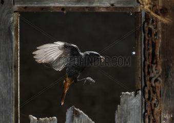 Black Redstart (Phoenicurus ochruros) feeding in flight  Spain