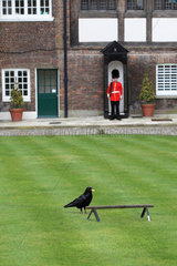 Raven (Corvus corax) in the gardens of the Tower of London  England  UK