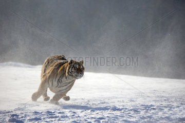 Siberian Tiger (Panthera tgris altaica) running in snow  Siberian Tiger Park  Harbin  China