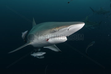 Blacktip shark (Carcharhinus limbatus) - Site of Protea Banks  off the town of Umkomaas  South Africa
