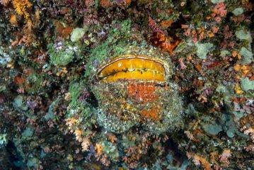 Thorny Oyster (Spondylus varius)  Maldives  Indian Ocean