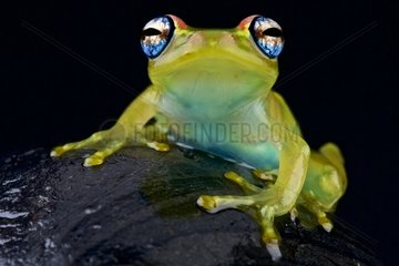 Blue-eyed tree frog (Boophis rappiodes) on black background