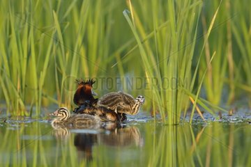 Great Crested Grebe (Podiceps cristatus) carrying young on her back  Dombes  Fance