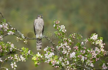 Sparrowhawk (Accipiter nisus) Young male perched amongst carbapple blossoms  England  Spring