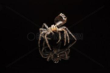 Orange faced jumper spider moult case - Australia