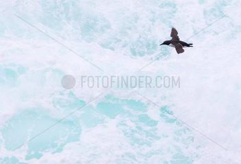Common Guillemot (Uria aalge) flying over water  Shetland