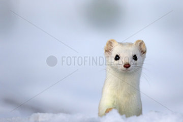 Portrait of Ermine ( Mustela erminea ) in white coat of winter on snow  Prealps.