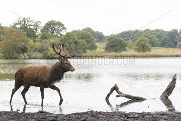 Red deer (Cervus elaphus) stag standing in water in Autumn  England