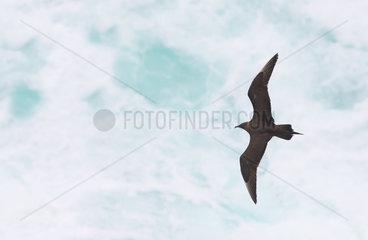 Arctic Skua (Stercorarius parasiticus) in flight above the sea  Shetland