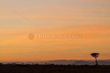 Kenya  Masai-Mara game reserve  hartebeest(Alcephalus busephalus cokii) at sunrise