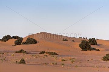 Shrubs in sand dune - Morocco