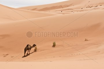 Dromedary eating in a sand dune - Morocco
