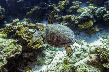 Green turtle (Chelonia mydas)   swimming above the reef  Maldives   Indian Ocean