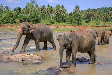 Sri lankan elephants (Elephas maximus maximus) from Pinnawala Elephant Orphanage bathing in the Maha Oya river with their carers nearby  part of a scheme run by the Sri Lankan Department of Wildlife  Pinnawala  Sri Lanka