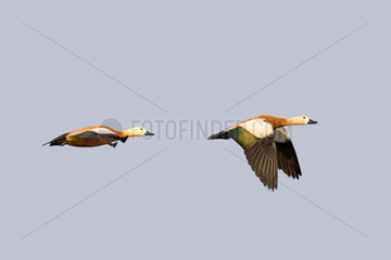Ruddy shelduck (Tadorna ferruginea) in flight  Brahmapoutra  Assam state  India