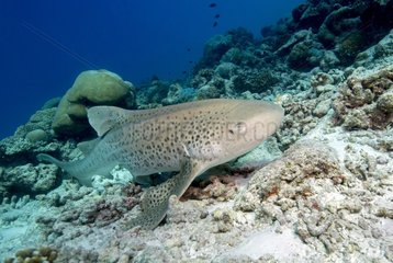 Zebra shark (Stegostoma varium) on the reef  Maldives  Indian Ocean
