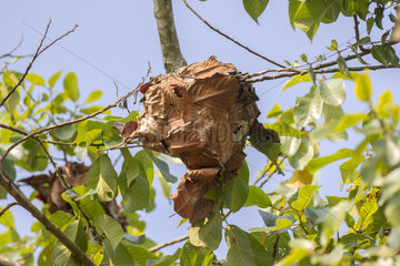 Leaves tized of ant nest in a tree  Tripura state  India
