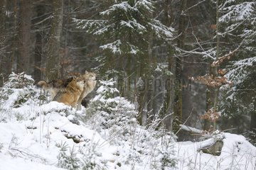 Alpha pair of a pack of European Wolves (Canis lupus) in the snow  Bayerisher Wald  Germany