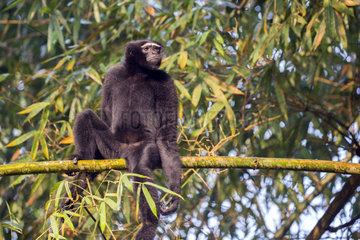 Western hoolock gibbon (Hoolock hoolock)  male in bamboos  Gumti wildlife sanctuary  Tripura state  India