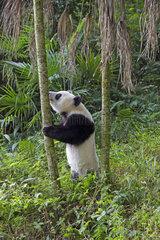 Giant Panda (Ailuropoda melanoleuca) captive  Chengdu Panda Base  Sichuan  China
