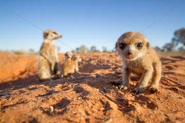 Meerkat pup with the babysitter - Kalahari South Africa