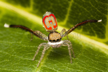 Male Peacock Jumping Spider mating display - Australia
