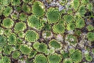 Common houseleek (Sempervivum tectorum)  Hautes-Alpes France