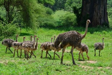 Tanzania. Birdwatching. Male ostricht with its youngs.