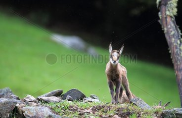 Young twins Chamois  Merlet Animal Park   Alps  France . Young chamois (Rupicapra rupicapra ) in the rain in June. A few days after birth   young animals are already very agile and autonomous. Mothers may leave them alone to go eat and come back regularly