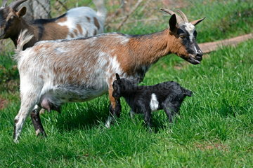 Dwarf Goat and her young in the meadow  France