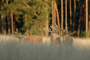 Red deers (Cervus elaphus ) males velvet   Hige Veluwe   Netherlands