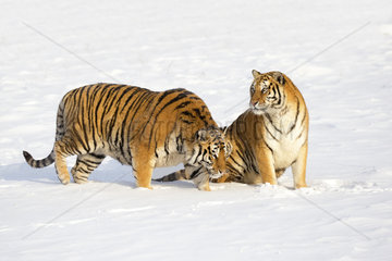 Siberian Tiger (Panthera tgris altaica) in snow  Siberian Tiger Park  Harbin  China