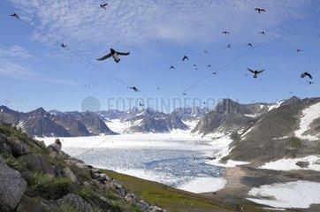 Flight Little Auks - Kap Hoegh Greenland