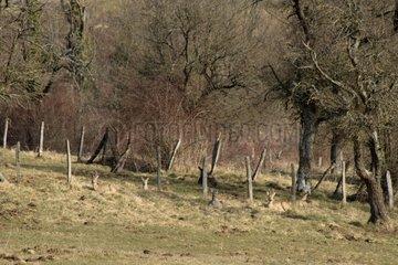 Roe Deers lying near a fence Luemschwiller France