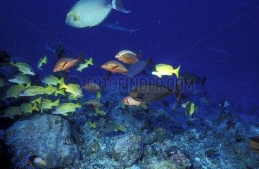 Diversité de poissons dans un récif corallien
