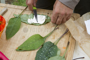 Preparation of Lungwort 's leaves fritters - Auvergne France